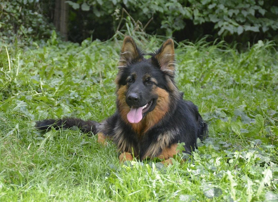Oudduitse Herder